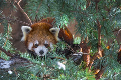 Red Panda in the pine trees Royalty Free Stock Photography
