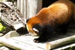 Red panda Royalty Free Stock Photos