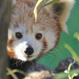 Red Panda Portrait Stock Photos