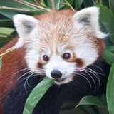 Red Panda Portrait Stock Image