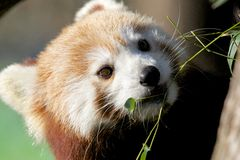Red Panda Portrait Royalty Free Stock Photos
