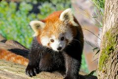 Red Panda Portrait Stock Photo