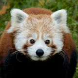 Red Panda Portrait Royalty Free Stock Photography