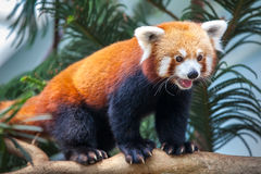 Red Panda. Portrait of a Red Panda, Firefox or Lesser Panda (Ailurus fulgens Royalty Free Stock Image