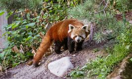 Red panda portrait. Profile portrait of red panda outdoors in green vegetation Stock Photography