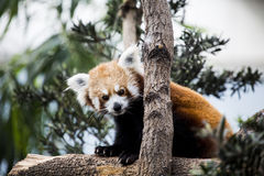 Red panda. A pretty red panda on a tree Stock Photos