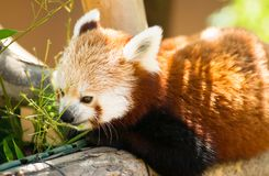 Red Panda Pulls Leaves in Closer to Feed On Royalty Free Stock Photography