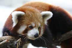Red Panda 1 Royalty Free Stock Images