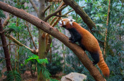 Red panda or red raccoon climbing tree Royalty Free Stock Photos
