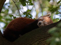 Red Panda. A red panda rests on a tree branch Stock Photo