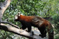 Red panda at San Diego zoo. View of a beautiful red panda walking on a tree at San Diego zoo Stock Images