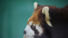 Red panda, science names Ailurus fulgens called lesser panda, red bear-cat, on the tree, closeup in HD stock video footage