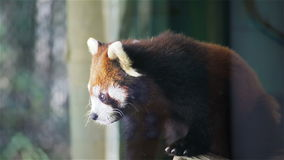 Red panda, science names Ailurus fulgens called lesser panda, red bear-cat, on the tree, closeup in HD stock footage