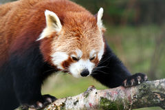 Red Panda (Shining Cat) Stock Photos