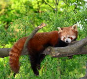 Red panda,shining cat. The red panda (Ailurus fulgens, or shining-cat), is a small arboreal mammal native to the eastern Himalayas and southwestern China Stock Image