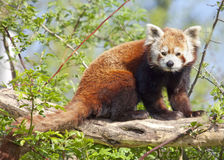 Red panda or shining cat Royalty Free Stock Image