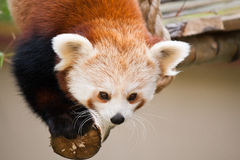 Red Panda (Shining Cat) Royalty Free Stock Photo