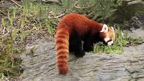 Red panda. Shy red panda on top of a stone Royalty Free Stock Image