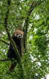 Red Panda sitting alone in a tree. Surrounded by green foliage Royalty Free Stock Image
