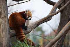 Red panda sitting on a branch Stock Photos