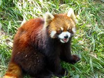 Red panda sitting on the grass and opening mouth Stock Image