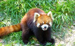 Red panda sitting on the grass and opening mouth Stock Photos