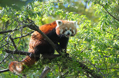 Red panda. Sitting on a tree branch Stock Photography
