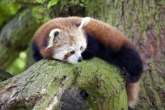 Red Panda Stock Photo