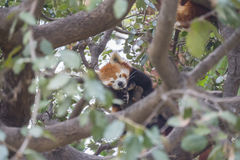 Red panda sleeping on the branches of a tree, Ailurus fulgens.  Royalty Free Stock Images