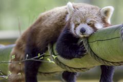 Red Panda Sleeping. Cute animal taking an afternoon nap. Red Panda Sleeping. Cute animal taking an afternoon nap and fast asleep on a log Royalty Free Stock Images