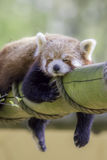 Red Panda Sleeping. This cute nocturnal animal asleep. Red Panda Sleeping. This cute nocturnal animal taking an afternoon siesta and is fast asleep on a Stock Images