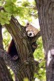 Red Panda sleeping in a tree Royalty Free Stock Photo