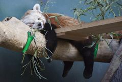 Red panda sleeping on a tree trunk in Moscow zoo. Color photo Stock Photography