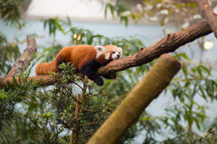 Red Panda sleeping. In zoo enclosure Royalty Free Stock Photography