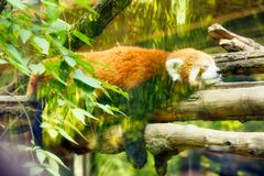 Red panda sleeps sweetly on a tree behind glass stock photo