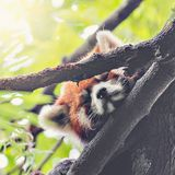 Red Panda sleeps on the tree. Red Panda sleeps on the tree brunch Stock Photos