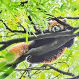 Red Panda sleeps on the tree. Red Panda sleeps on the tree brunch Stock Images