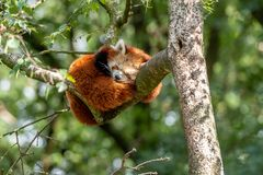 Red panda sleeps in a tree stock images