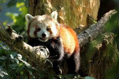 Red panda smiling. Wildlife animal relaxing  on tree Stock Images