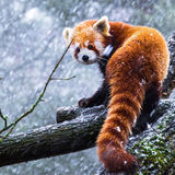 Red panda in a snowstorm. Red panda on a branch looking over it's shoulder in a snowstorm Royalty Free Stock Photo