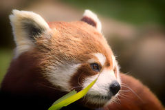 Red Panda. Soft feel nature image of gentle lovable animal with Stock Photos