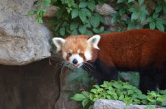 Red Panda. Standing on green leaf covered rock with bright large whiskers Stock Photo