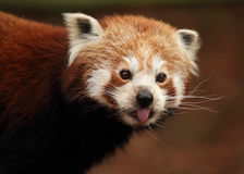 Red panda sticking out it's tongue Royalty Free Stock Photos