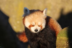 Red Panda. A red panda in the sunshine Royalty Free Stock Photo