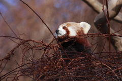 Red panda on the tree Royalty Free Stock Images