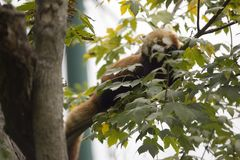 Red panda in tree Royalty Free Stock Photos