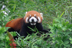 Red panda  on the tree Stock Photo