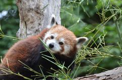 Red panda in tree Royalty Free Stock Images