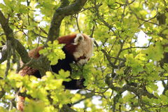 A Red panda. In a tree Stock Image