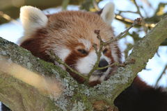 Red Panda. A red panda in a tree Stock Image